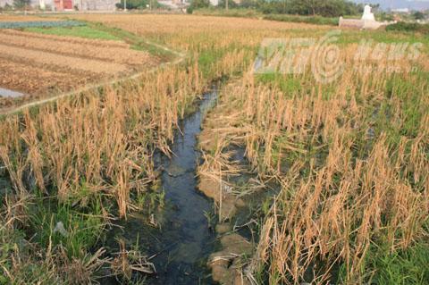 Ruộng lúa, hoa màu của người dân quanh nhà máy bị thiệt hại nặng do nước thải không qua xử lý xả ra môi trường - Ảnh Minh Khang