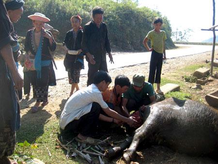 Người dân vùng cao làm thịt gia súc bị chết do giá rét. Ảnh: Dân Việt