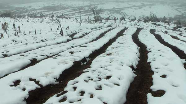 Nhiều diện tích rau, màu ở Ý Tý (Bát Xát) bị tuyết vùi lấp. Ảnh: Báo Lào Cai