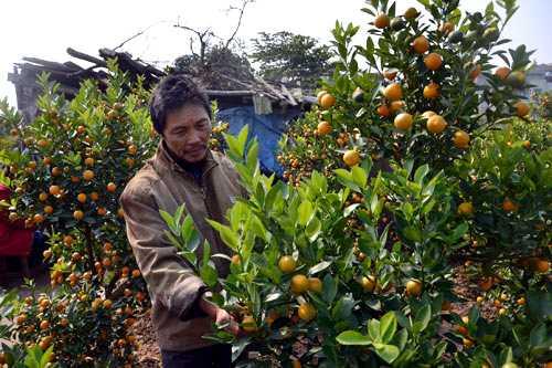 Ngoài nỗi buồn mất mùa, người trồng còn lo quất ế ẩm nhất là những cây quất có giá hàng chục triệu đồng