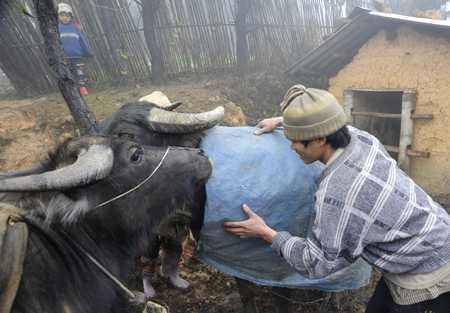 Người dân các tỉnh miền núi phía Bắc lo giữ ấm cho gia súc khi nhiệt độ xuống thấp. Ảnh minh họa (Dân Việt)