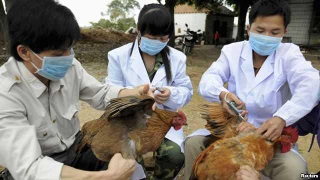 Tiêm vắc xin cho gà ở Thượng Hải