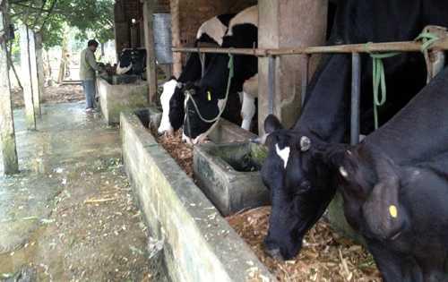 80% sữa tươi nguyên liệu ở Việt Nam được thu mua từ hộ nông dân nuôi bò.