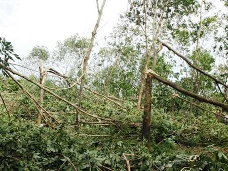 Bão số 11 tiếp tục càn quét đảo Cồn Cỏ và bẻ gãy cao su ở Quảng Trị. Ảnh: PL& XH