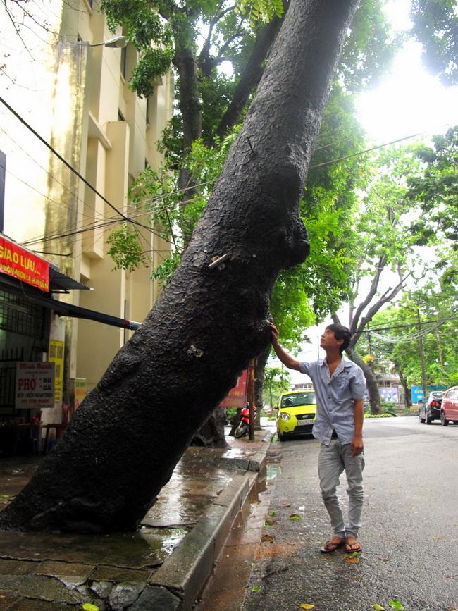 Cũng trên phố Nguyễn Quyền, cây xà cừ trước cửa nhà số 2 cũng có độ nghiêng lớn.