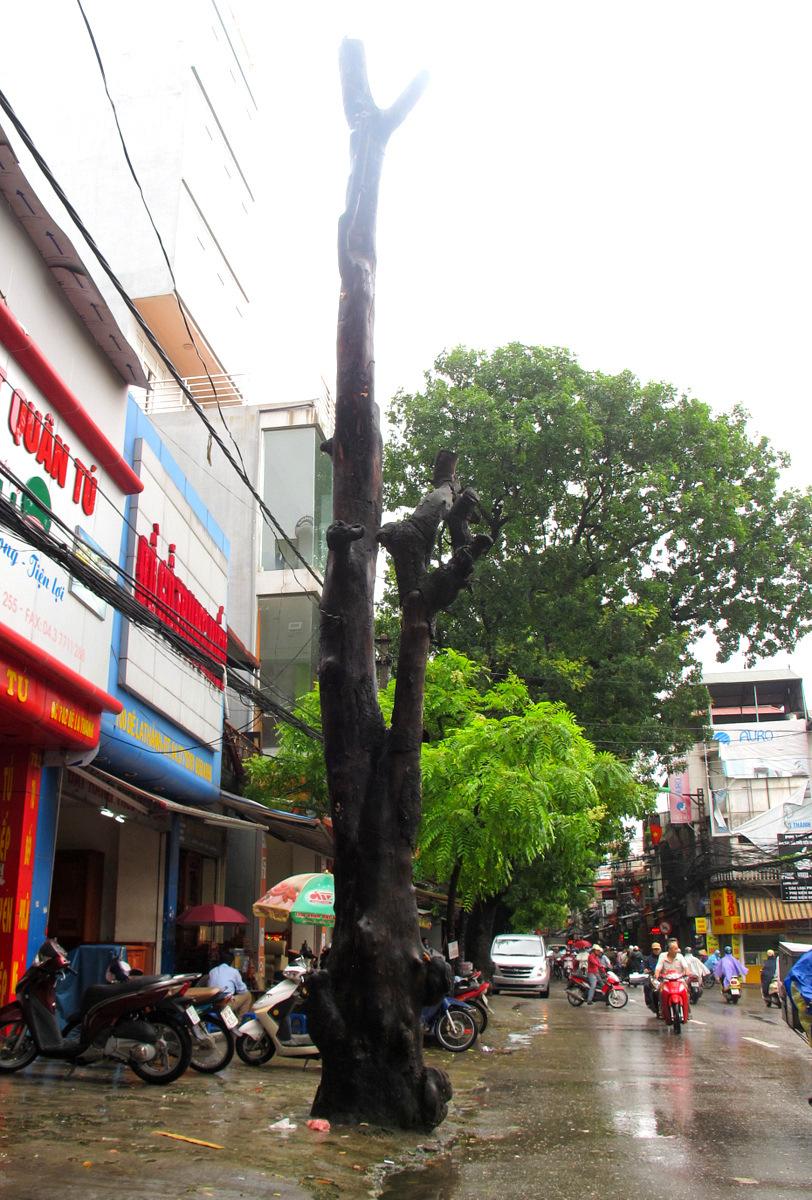 Trong khi đó, cây xà cừ có nguy cơ đổ vì chết đã lâu nhưng không thấy ai tới chặt (trước nhà 702 Đê La Thành).