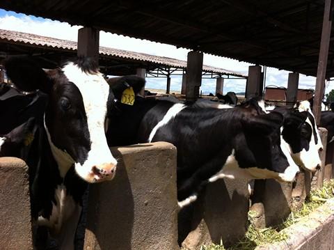 Giống bò Holstein do FrieslandCampina lai tạo được cho năng suất đến 26.000 lít sữa trong suốt vòng đời.