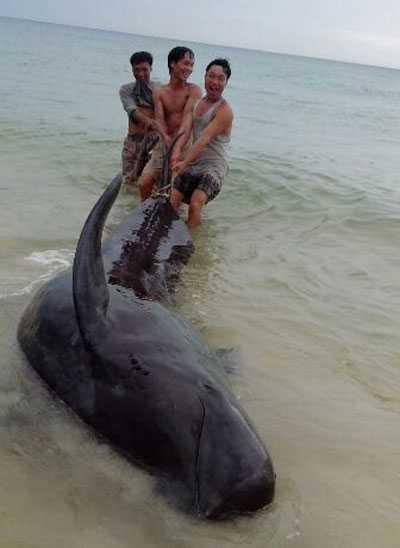 Chú cá voi nặng hơn 1 tấn được đưa ra biển an toàn. Ảnh: Lao Động