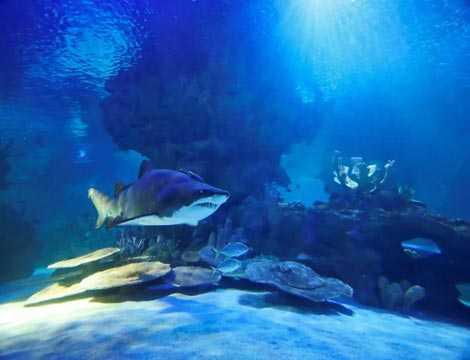 Cá mập hổ cát đã phải đấu tranh sinh tồn ngay khi trong bào thai mẹ.