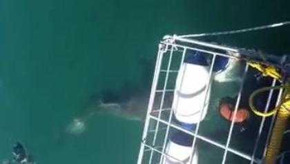 Kinh hãi con cá mập lao vào lồng sắt tấn công người. >> Xem Clip