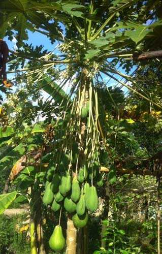 Là cây đu đủ đực nhưng lại ra hoa, kết trái rất nhiều.
