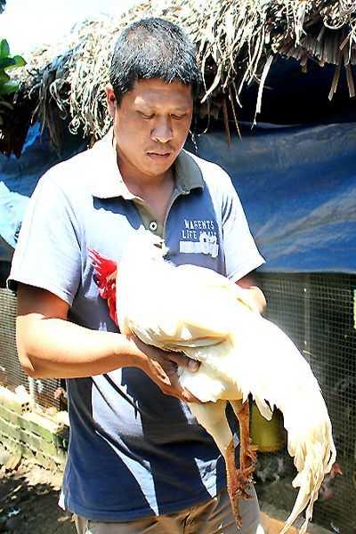 Anh Nghiêm Gia Dũng giới thiệu về con gà trống chín cựa trị giá ngàn đô của mình.