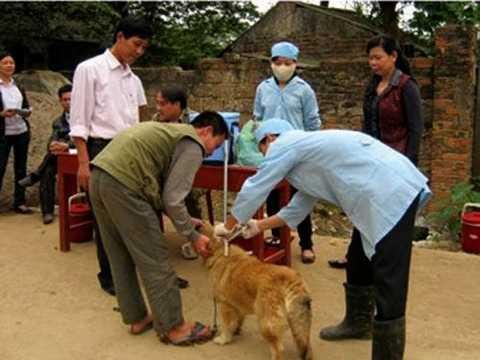 Tiêm phòng cho đàn chó ở huyện Sóc Sơn sau khi có thông tin 52 người bị chó cắn. Ảnh: Tri thức