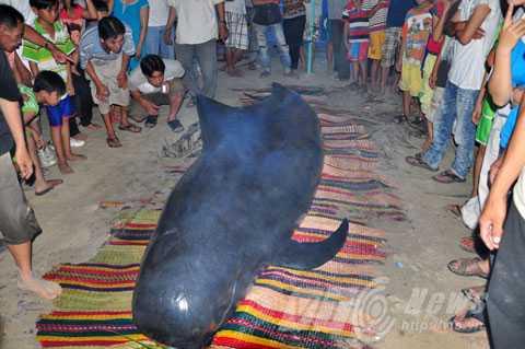 Chiều 21/5, trong lúc lặn biển, ngư dân xã Duy Hải (Duy Xuyên Quảng Nam) đã phát hiện một con cá voi lụy bờ
