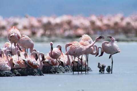 Nước trong hồ có nhiệt độ và độ kiềm cao trở thành cái bẫy chết người. Loài hồng hạc nhờ đôi chân bọc sừng dày nên có thể kiếm ăn trong lòng hồ.
