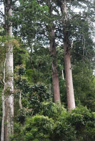 Nhiều cây quý cùng loài trong khu bảo tồn