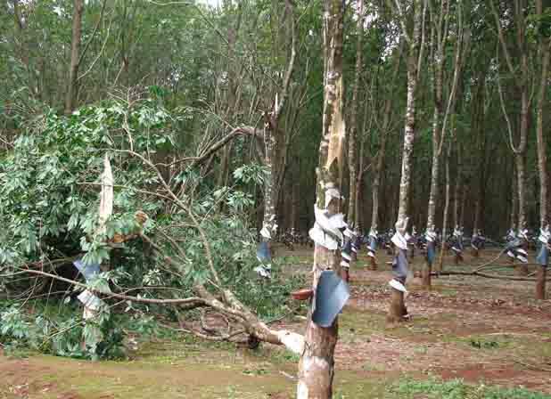 Gió lốc đã làm gãy hàng ngàn cây caosu cua Công ty 74.