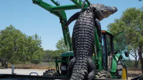 Cận cảnh con cá sấu khổng lồ, nặng 363 ký và dài 4,26 mét.