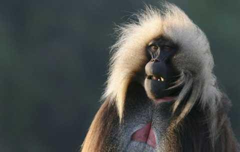 Khỉ Gelada là loại khỉ duy nhất chép môi khi giao tiếp. Ảnh: BBC.