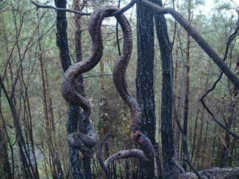 Xác con rắn dài gần 4m lơ lửng trên cây