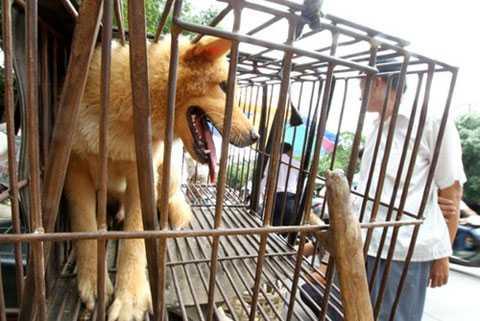 Chó nhà tại xã Bắc Sơn đều phải nhốt.