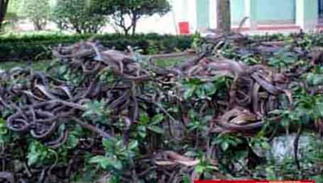 Đàn rắn ráo trong Trại rắn Đồng Tâm.