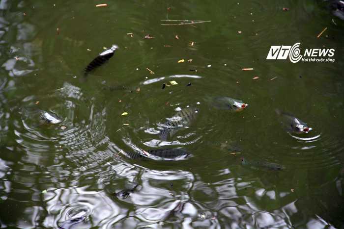 Rất nhiều cá từ ngoài vào hồ sau trận mưa lớn