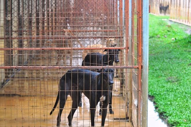 Chó đua được nuôi nhốt, mỗi chuồng có diện tích khoảng 4.2m vuông.