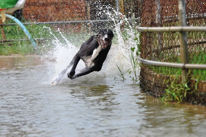 Chó đua đươc tập luyện rất kỹ.
