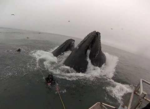 """Khoảnh khắc kinh hoàng khi bộ đôi thợ lặn gần như bị những """"quái vật"""" cá voi lưng gù nuốt chửng"""