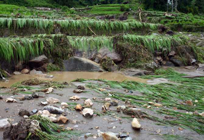 Mưa lũ phá hỏng nhiều diện tích lúa của người dân xã Bản Lang nói riêng và huyện Phong Thổ nói chung.
