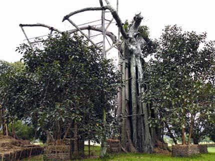 Quần thể di tích cây đa Tân Trào tháng 12- 2012.