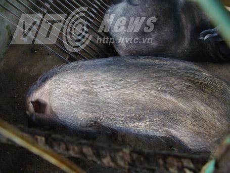 Một chú lợn rừng nhỏ được nhốt trưng bày ở U Minh Hạ