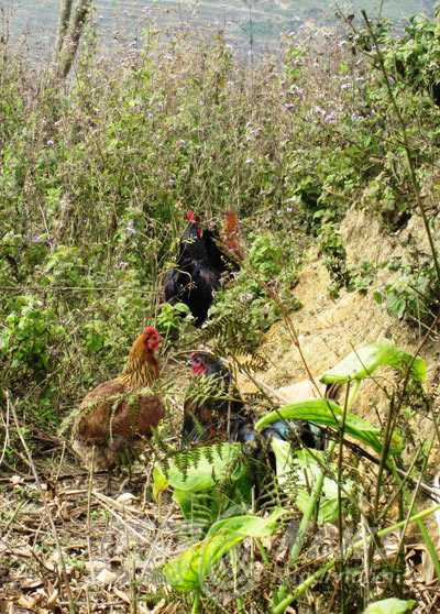 Trong đàn gà cùng mẹ, chỉ có vài con gà không phao câu