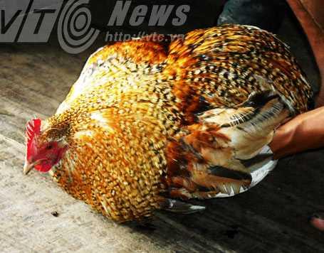 Người Clao không bao giờ dùng gà trống không phao câu để cúng tổ tiên
