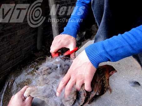 Anh Trịnh Hữu Tưởng cắt trụi lông đuôi để khoe gà không có phao câu