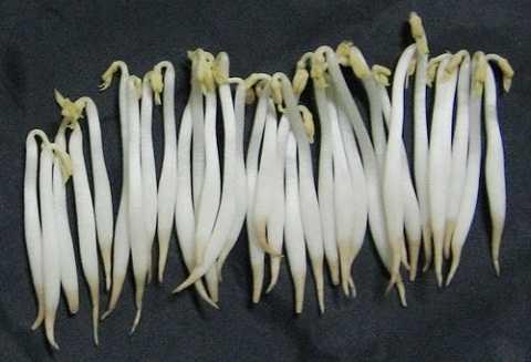 Giá đỗ không có rễ có thể chứa chất diệt cỏ gây ung thư, quái thai