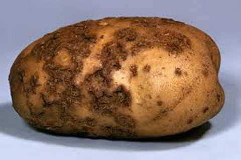 Nếu khoai có đốm đen trên vỏ, chứng tỏ khoai đã bị nhiễm độc