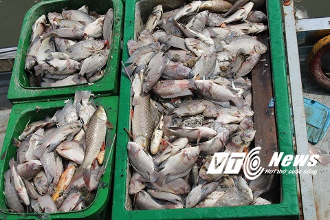 Hiện nguyên nhân cá chết cũng chưa được xác định rõ