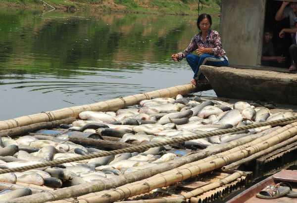 Người dân đau xót bên lồng cá chết trắng.