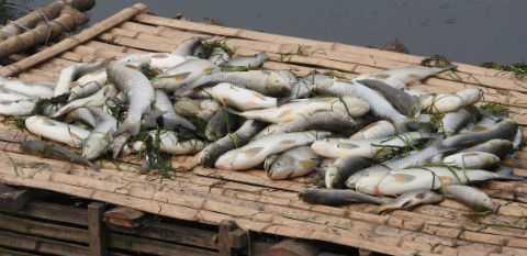 Gần 20 tấn cá của người dân nuôi trên sông Bưởi đã bị chết.