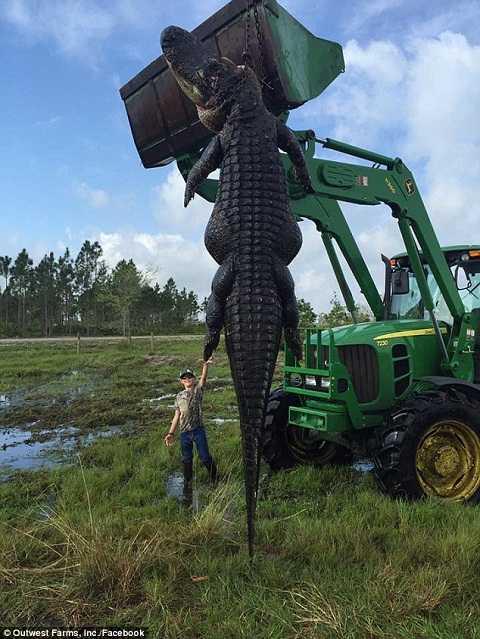 Con cá sấu chúa dài tới 4m