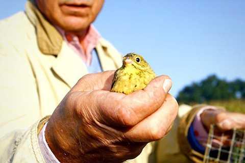 Vào mùa di cư, khi chim bay về châu Phi cũng là thời điểm những người thợ săn đặt nhiều bẫy trên cánh đồng để bắt được nhiều chim nhất có thể. Tuy nhiên, để món chim họa mi trở nên thơm ngon, hấp dẫn nhất đó phải là những con chim béo núc gấp 2 đến 4 lần so với bình thường. Vì vậy, sau khi sập bẫy, chúng bị giam trong những chiếc lồng chật ních để hạn chế tối đa vận động và bắt đầu tiến hành vỗ béo.