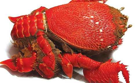 Vỏ cua màu đỏ hồng hình dáng như loài rùa trông rất bắt mắt. Ảnh: MH.