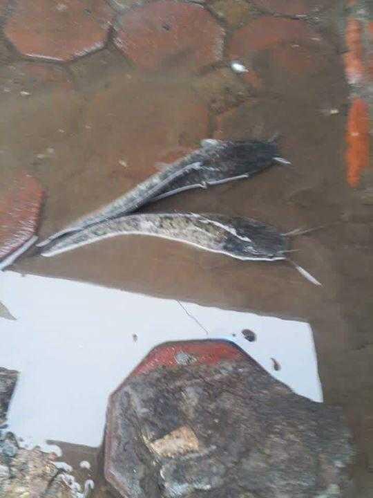 Cá tung tăng bơi lội trên đường - Nguồn ảnh: FB