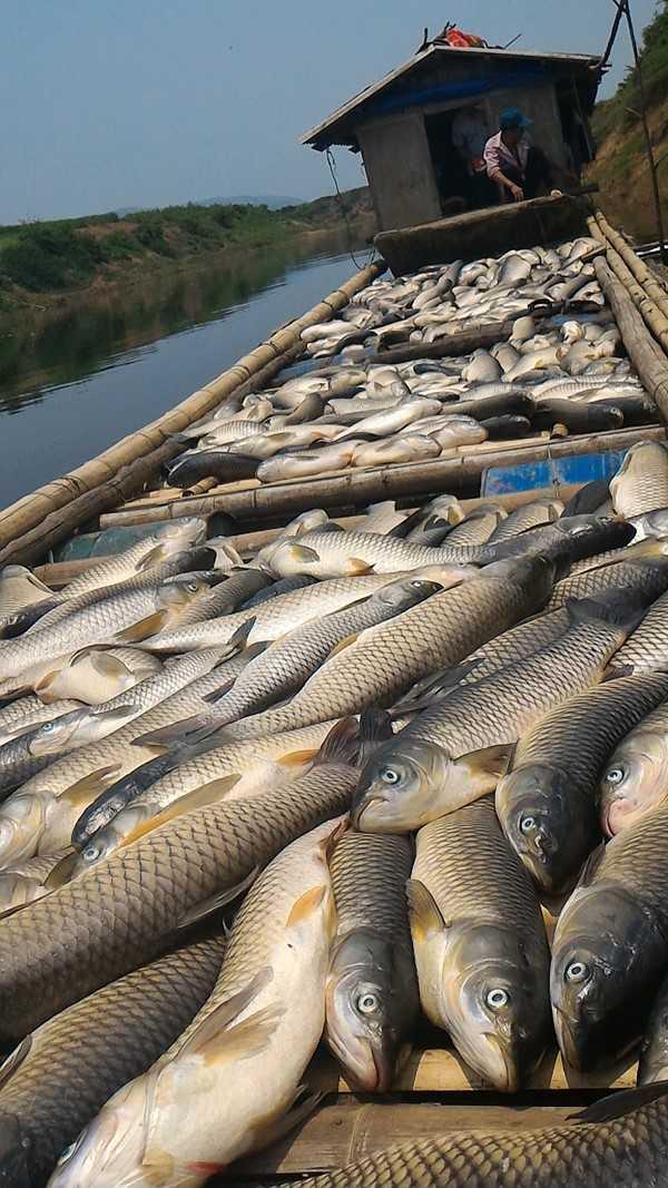 Nhiều lồng cá của nông dân Thạch Thành chết không còn con nào. Ảnh: Xuân Hùng.