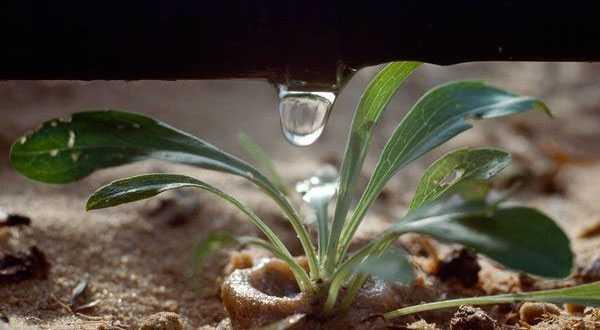 Công nghệ tưới nước nhỏ giọt của người Isarel