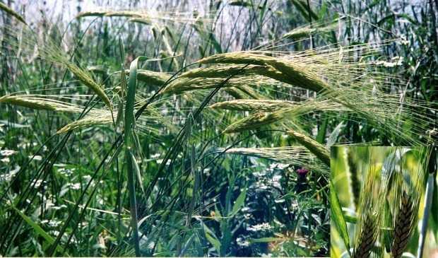 Hệ thống cây trồng xen kẽ với cây lương thực