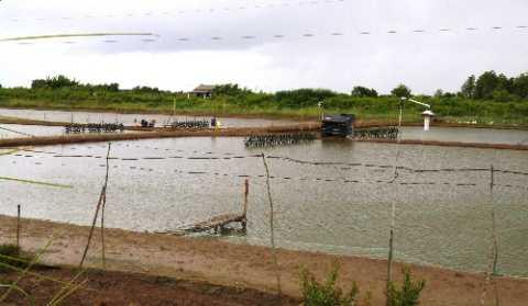 Những cánh đồng tôm để không ở Cà Mau vì thời tiết nắng nóng