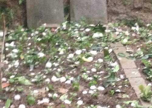 Mưa đá làm dập nát hoa màu. Ảnh: Đài Tuyên Quang.